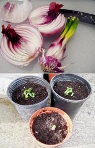 Cuando la cebolla se pasa de madura empieza a brotar la planta, basta con pelar las hojas de esta y poner en composta para que comience a crecer.